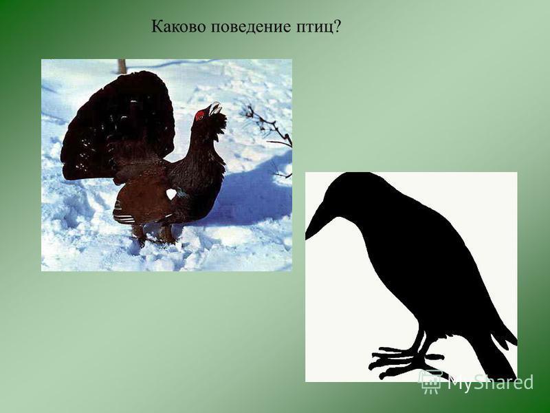 Каково поведение птиц?