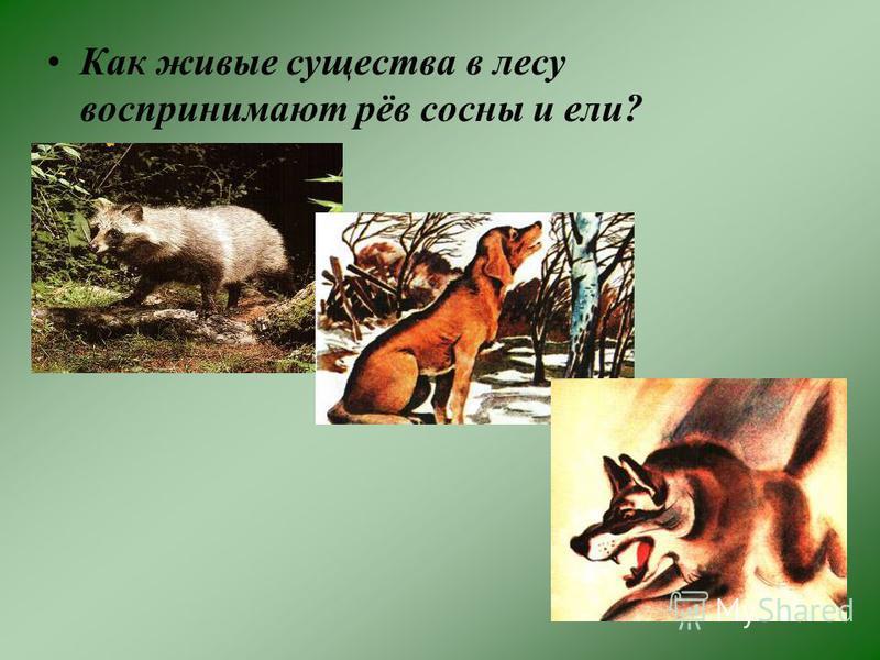 Как живые существа в лесу воспринимают рёв сосны и ели?