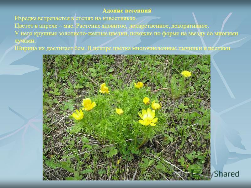 Адонис весенний Изредка встречается в степях на известняках. Цветет в апреле – мае. Растение ядовитое, лекарственное, декоративное. У него крупные золотисто-желтые цветки, похожие по форме на звезду со многими лучами. Ширина их достигает 6 см. В цент