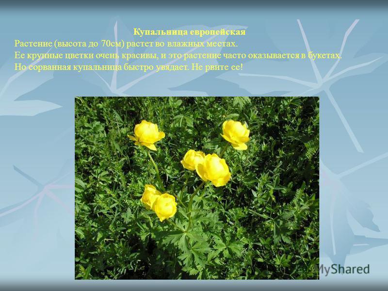 Купальница европейская Растение (высота до 70 см) растет во влажных местах. Ее крупные цветки очень красивы, и это растение часто оказывается в букетах. Но сорванная купальница быстро увядает. Не рвите ее!