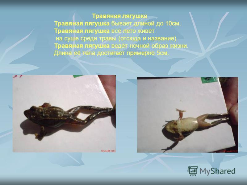Травяная лягушка Травяная лягушка бывает длиной до 10 см. Травяная лягушка всё лето живёт на суше среди травы (отсюда и название). Травяная лягушка ведёт ночной образ жизни. Длина её тела достигает примерно 5 см.