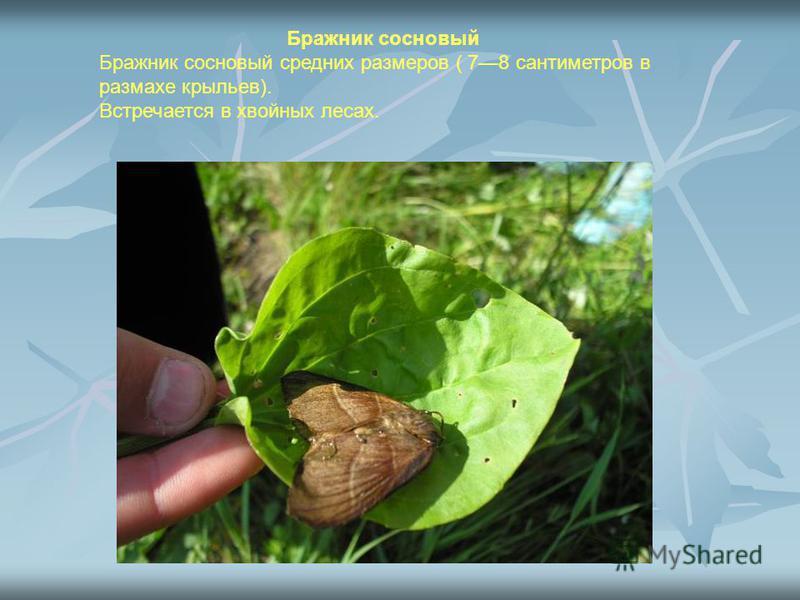 Бражник сосновый Бражник сосновый средних размеров ( 78 сантиметров в размахе крыльев). Встречается в хвойных лесах.