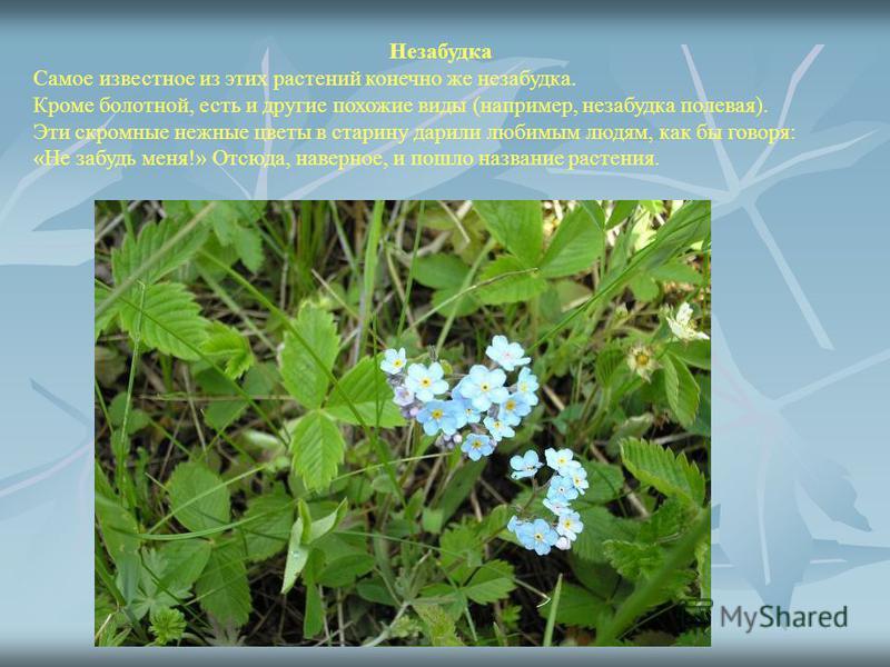 Незабудка Самое известное из этих растений конечно же незабудка. Кроме болотной, есть и другие похожие виды (например, незабудка полевая). Эти скромные нежные цветы в старину дарили любимым людям, как бы говоря: «Не забудь меня!» Отсюда, наверное, и