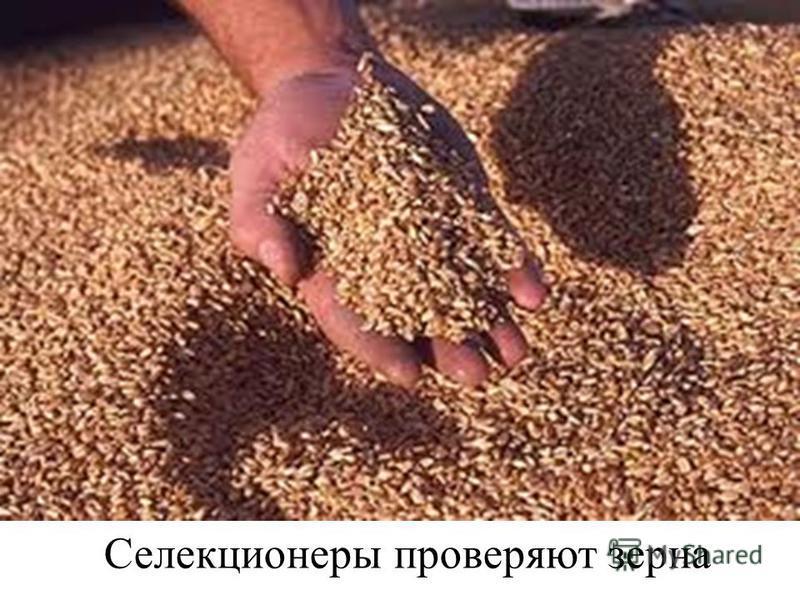 Селекционеры проверяют зерна