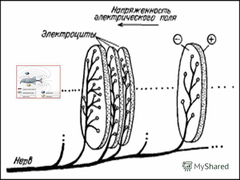 Электрические органы. Электрические органы могут располагаться как в хвосте, так и по всему телу или в некоторых его частях. Электрические органы могут располагаться как в хвосте, так и по всему телу или в некоторых его частях.