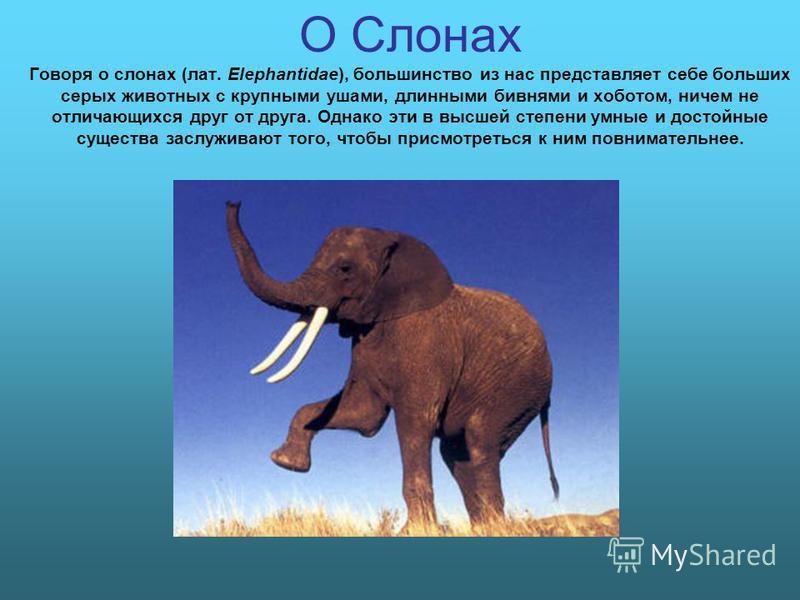 О Слонах Говоря о слонах (лат. Elephantidae), большинство из нас представляет себе больших серых животных с крупными ушами, длинными бивнями и хоботом, ничем не отличающихся друг от друга. Однако эти в высшей степени умные и достойные существа заслуж