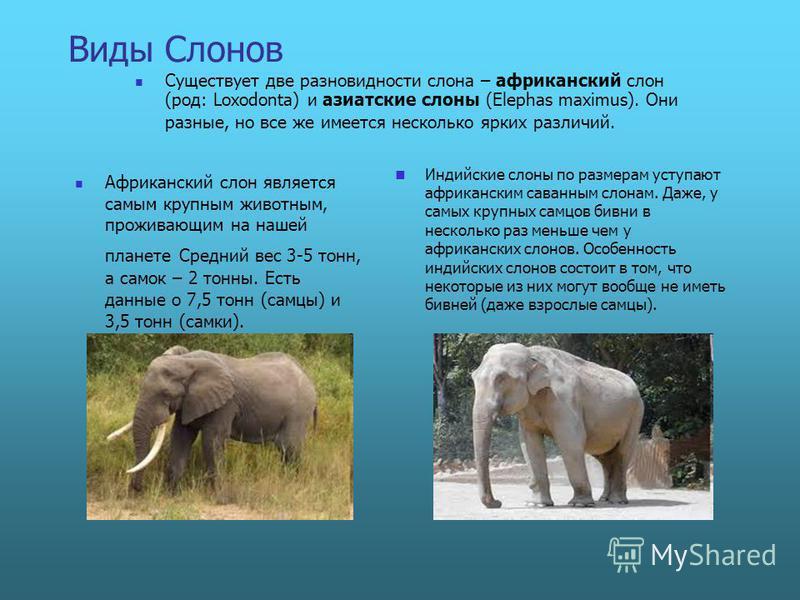 Виды Слонов Африканский слон является самым крупным животным, проживающим на нашей планете Средний вес 3-5 тонн, а самок – 2 тонны. Есть данные о 7,5 тонн (самцы) и 3,5 тонн (самки). Индийские слоны по размерам уступают африканским саванным слонам. Д