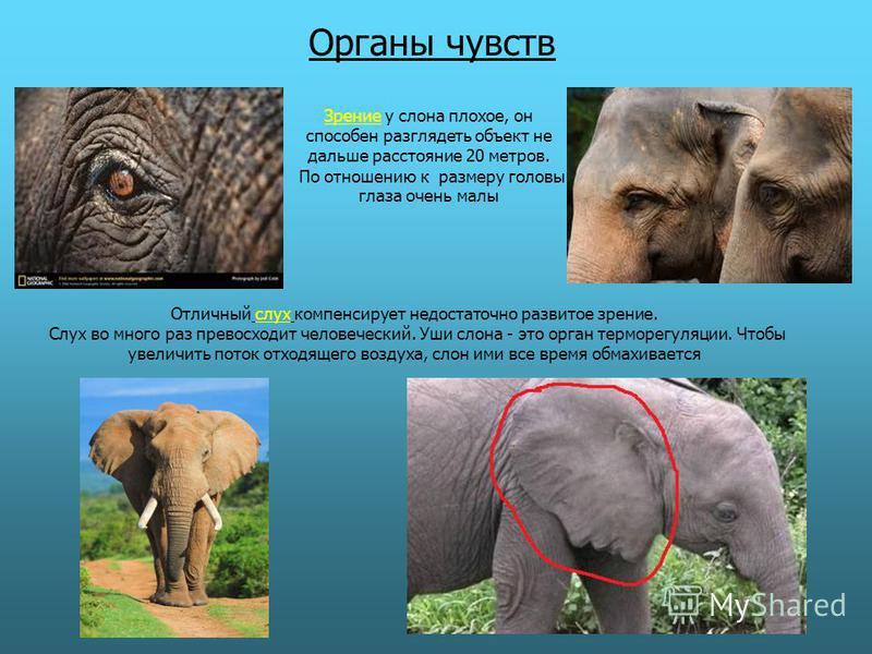 Зрение у слона плохое, он способен разглядеть объект не дальше расстояние 20 метров. По отношению к размеру головы глаза очень малы Органы чувств Отличный слух компенсирует недостаточно развитое зрение. Слух во много раз превосходит человеческий. Уши