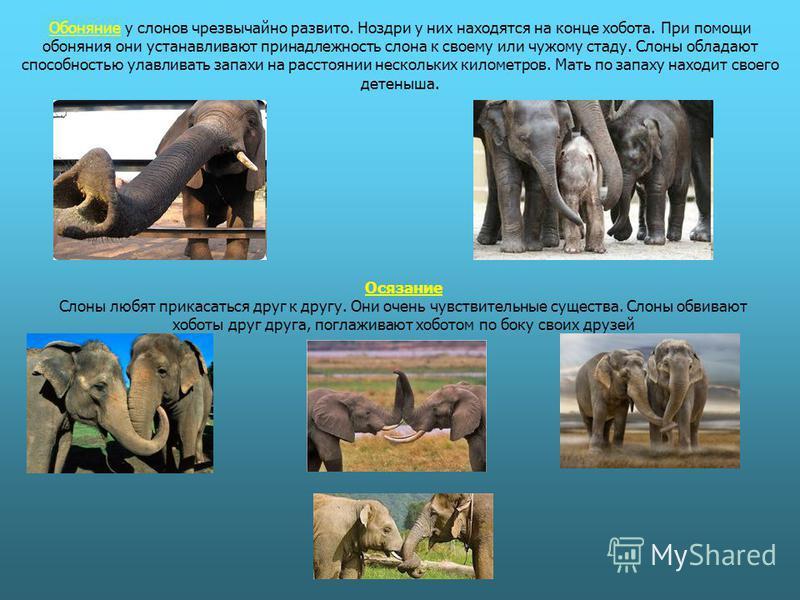 Обоняние у слонов чрезвычайно развито. Ноздри у них находятся на конце хобота. При помощи обоняния они устанавливают принадлежность слона к своему или чужому стаду. Слоны обладают способностью улавливать запахи на расстоянии нескольких километров. Ма