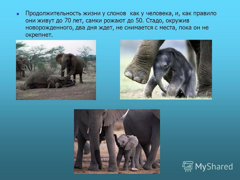 Продолжительность жизни у слонов как у человека, и, как правило они живут до 70 лет, самки рожают до 50. Стадо, окружив новорожденного, два дня ждет, не снимается с места, пока он не окрепнет.