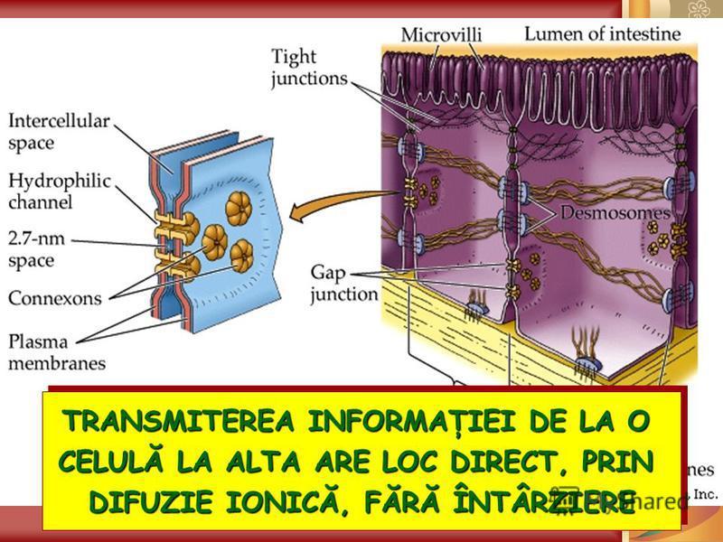TRANSMITEREA INFORMAŢIEI DE LA O CELULĂ LA ALTA ARE LOC DIRECT, PRIN DIFUZIE IONICĂ, FĂRĂ ÎNTÂRZIERE TRANSMITEREA INFORMAŢIEI DE LA O CELULĂ LA ALTA ARE LOC DIRECT, PRIN DIFUZIE IONICĂ, FĂRĂ ÎNTÂRZIERE