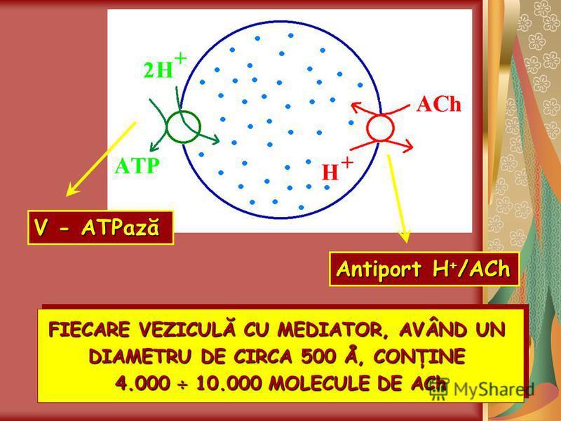 FIECARE VEZICULĂ CU MEDIATOR, AVÂND UN DIAMETRU DE CIRCA 500 Å, CONŢINE 4.000 10.000 MOLECULE DE ACh FIECARE VEZICULĂ CU MEDIATOR, AVÂND UN DIAMETRU DE CIRCA 500 Å, CONŢINE 4.000 10.000 MOLECULE DE ACh V - ATPază Antiport H+/ACh
