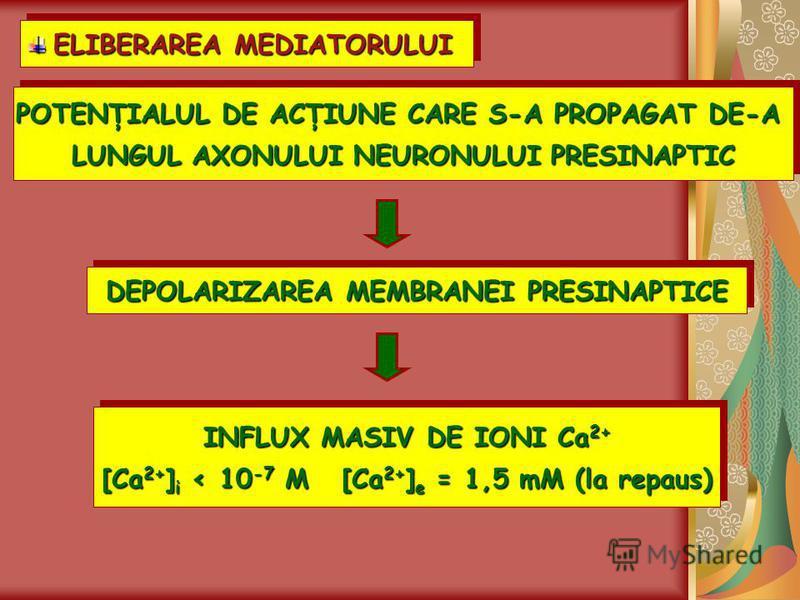 ELIBERAREA MEDIATORULUI ELIBERAREA MEDIATORULUI ELIBERAREA MEDIATORULUI POTENŢIALUL DE ACŢIUNE CARE S-A PROPAGAT DE-A LUNGUL AXONULUI NEURONULUI PRESINAPTIC POTENŢIALUL DE ACŢIUNE CARE S-A PROPAGAT DE-A LUNGUL AXONULUI NEURONULUI PRESINAPTIC DEPOLARI