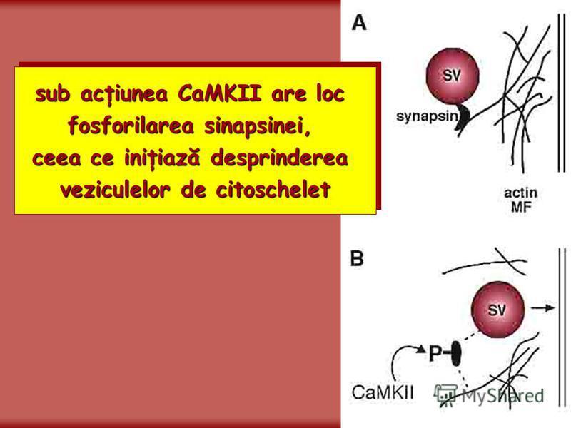 sub acţiunea CaMKII are loc fosforilarea sinapsinei, ceea ce iniţiază desprinderea veziculelor de citoschelet sub acţiunea CaMKII are loc fosforilarea sinapsinei, ceea ce iniţiază desprinderea veziculelor de citoschelet