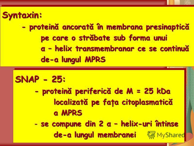 Syntaxin: - proteină ancorată în membrana presinaptică pe care o străbate sub forma unui α – helix transmembranar ce se continuă de-a lungul MPRS Syntaxin: - proteină ancorată în membrana presinaptică pe care o străbate sub forma unui α – helix trans