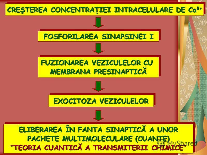 CREŞTEREA CONCENTRAŢIEI INTRACELULARE DE Ca 2+ FOSFORILAREA SINAPSINEI I FUZIONAREA VEZICULELOR CU MEMBRANA PRESINAPTICĂ FUZIONAREA VEZICULELOR CU MEMBRANA PRESINAPTICĂ EXOCITOZA VEZICULELOR ELIBERAREA ÎN FANTA SINAPTICĂ A UNOR PACHETE MULTIMOLECULAR