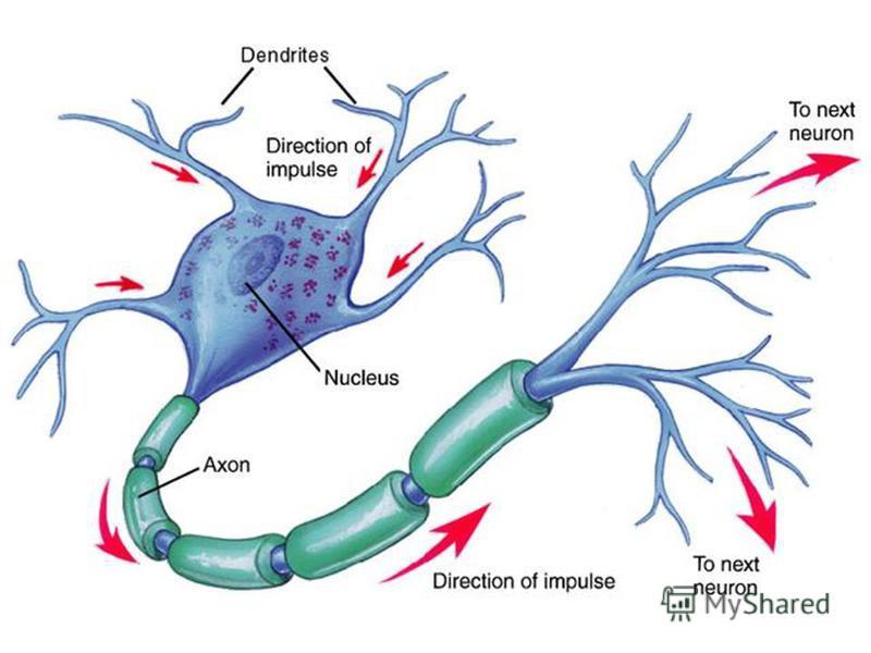 CORPUL CELULAR (SOMA) SEDIUL ACTIVITĂŢILOR METABOLICE SEDIUL ACTIVITĂŢILOR METABOLICE DIAMETRU : μ m mm DIAMETRU : μ m mm CORPUL CELULAR (SOMA) SEDIUL ACTIVITĂŢILOR METABOLICE SEDIUL ACTIVITĂŢILOR METABOLICE DIAMETRU : μ m mm DIAMETRU : μ m mm