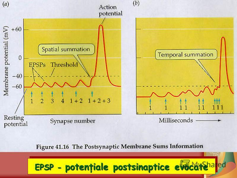 EPSP - potenţiale postsinaptice evocate