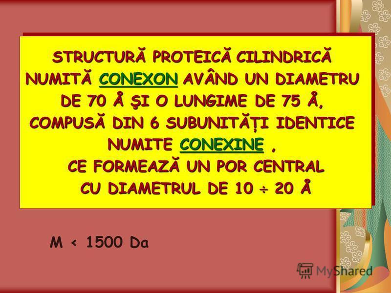 STRUCTURĂ PROTEICĂCILINDRICĂ STRUCTURĂ PROTEICĂ CILINDRICĂ NUMITĂ CONEXONAVÂND UN DIAMETRU NUMITĂ CONEXON AVÂND UN DIAMETRU DE 70 Å ŞI O LUNGIME DE 75 Å, COMPUSĂ DIN 6 SUBUNITĂŢI IDENTICE NUMITE CONEXINE, CE FORMEAZĂ UN POR CENTRAL CU DIAMETRUL DE 10