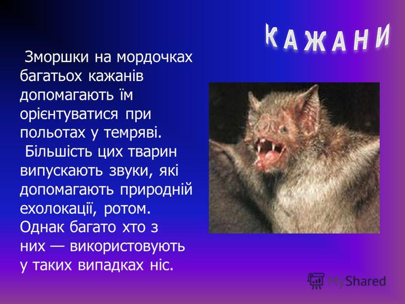 Зморшки на мордочках багатьох кажанів допомагають їм орієнтуватися при польотах у темряві. Більшість цих тварин випускають звуки, які допомагають природній ехолокації, ротом. Однак багато хто з них використовують у таких випадках ніс.