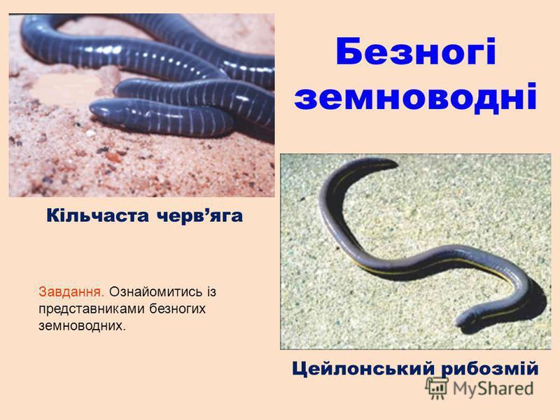 Безногі земноводні Кільчаста червяга Цейлонський рибозмій Завдання. Ознайомитись із представниками безногих земноводних.
