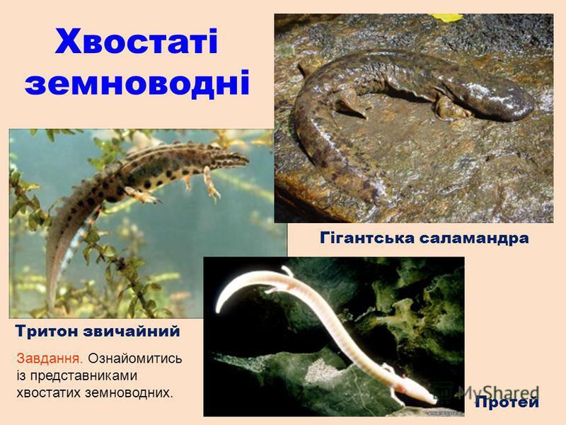Хвостаті земноводні Гігантська саламандра Тритон звичайний Протей Завдання. Ознайомитись із представниками хвостатих земноводних.