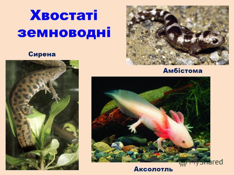 Сирена Амбістома Аксолотль Хвостаті земноводні