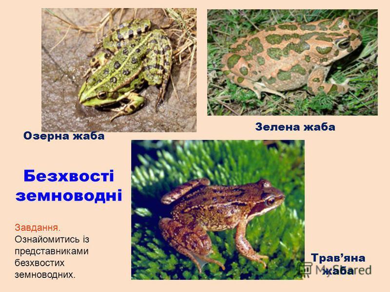 Озерна жаба Зелена жаба Травяна жаба Безхвості земноводні Завдання. Ознайомитись із представниками безхвостих земноводних.