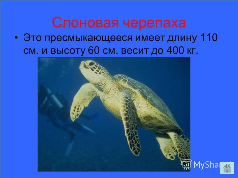 Слоновая черепаха Это пресмыкающееся имеет длину 110 см. и высоту 60 см. весит до 400 кг.