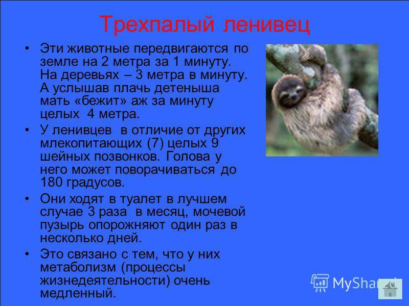 Трехпалый ленивец Эти животные передвигаются по земле на 2 метра за 1 минуту. На деревьях – 3 метра в минуту. А услышав плачь детеныша мать «бежит» аж за минуту целых 4 метра. У ленивцев в отличие от других млекопитающих (7) целых 9 шейных позвонков.