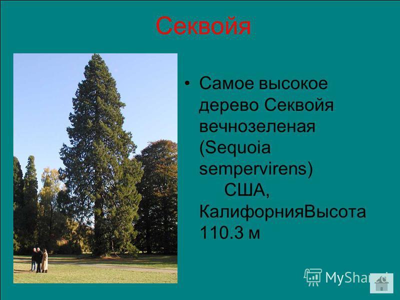 Секвойя Самое высокое дерево Секвойя вечнозеленая (Sequoia sempervirens) США, Калифорния Высота 110.3 м