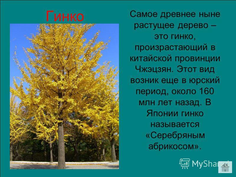 Самое древнее ныне растущее дерево – это гинкго, произрастающий в китайской провинции Чжэцзян. Этот вид возник еще в юрский период, около 160 млн лет назад. В Японии гинкго называется «Серебряным абрикосом». Гинко