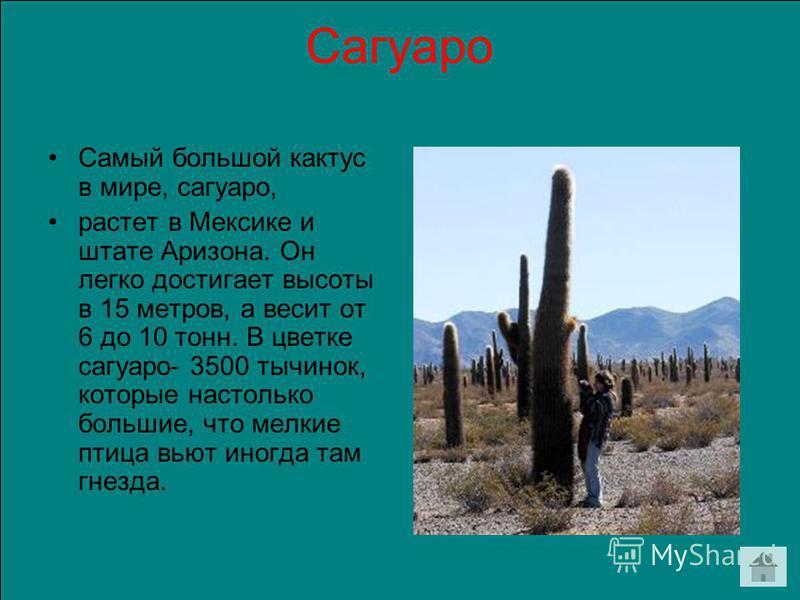 Сагуаро Самый большой кактус в мире, сагуаро, растет в Мексике и штате Аризона. Он легко достигает высоты в 15 метров, а весит от 6 до 10 тонн. В цветке сагуаро- 3500 тычинок, которые настолько большие, что мелкие птица вьют иногда там гнезда.