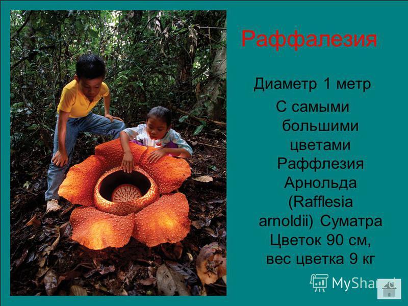 Раффалезия Диаметр 1 метр С самыми большими цветами Раффлезия Арнольда (Rafflesia arnoldii) Суматра Цветок 90 см, вес цветка 9 кг