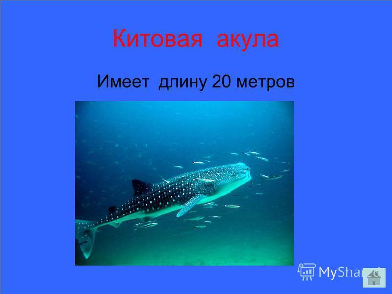 Китовая акула Имеет длину 20 метров