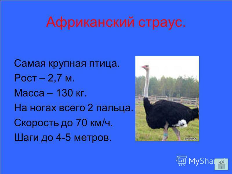 Африканский страус. Самая крупная птица. Рост – 2,7 м. Масса – 130 кг. На ногах всего 2 пальца. Скорость до 70 км/ч. Шаги до 4-5 метров.