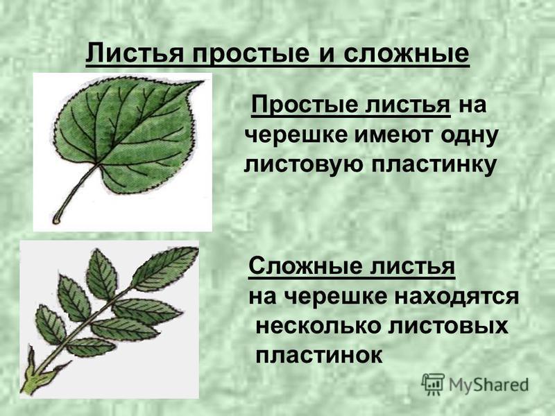 Листья простые и сложные Простые листья на черешке имеют одну листовую пластинку Сложные листья на черешке находятся несколько листовых пластинок