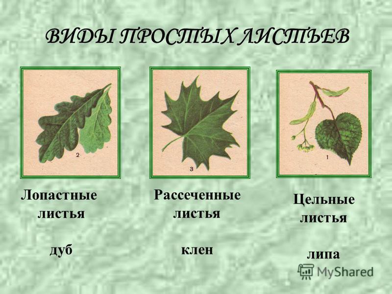 ВИДЫ ПРОСТЫХ ЛИСТЬЕВ Лопастные листья дуб Цельные листья липа Рассеченные листья клен