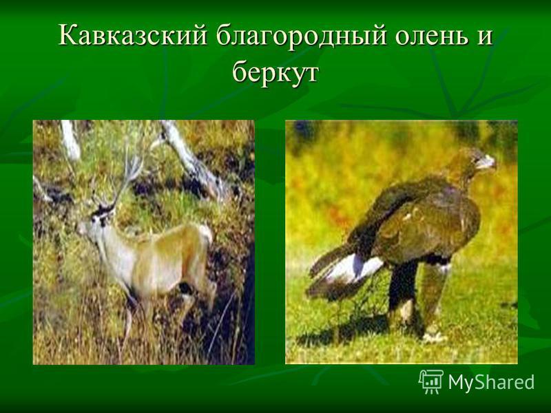 Кавказский благородный олень и беркут