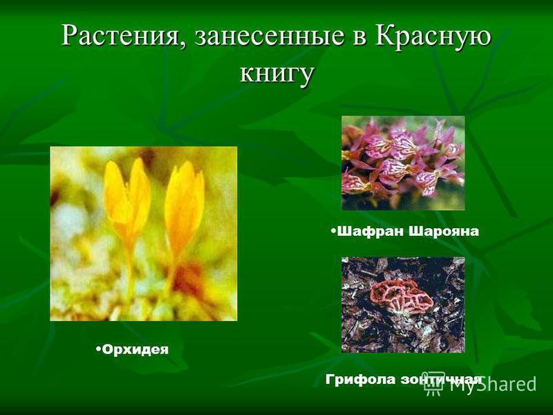 Растения, занесенные в Красную книгу Шафран Шарояна Грифола зонтичная Орхидея