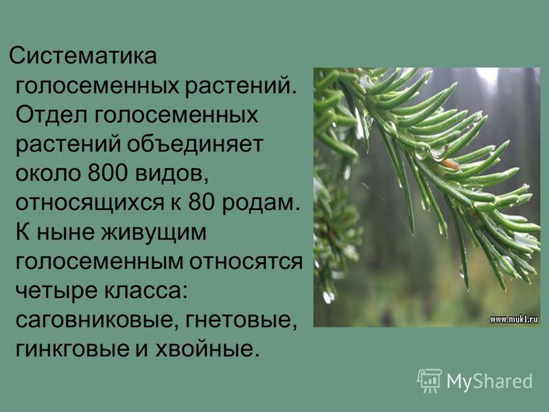 Систематика голосеменных растений. Отдел голосеменных растений объединяет около 800 видов, относящихся к 80 родам. К ныне живущим голосеменным относятся четыре класса: саговниковые, гнетовые, гинкговые и хвойные.