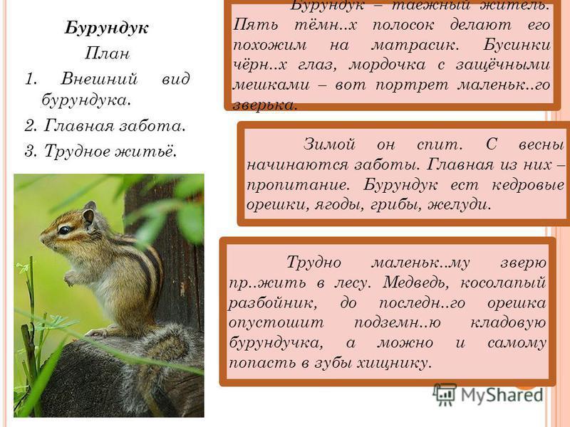 Бурундук План 1. Внешний вид бурундука. 2. Главная забота. 3. Трудное житьё. Зимой он спит. С весны начинаются заботы. Главная из них – пропитание. Бурундук ест кедровые орешки, ягоды, грибы, желуди. Трудно маленькойий..му зверю пр..жить в лесу. Медв