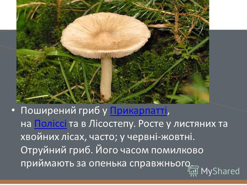 Поширений гриб у Прикарпатті, на Поліссі та в Лісостепу. Росте у листяних та хвойних лісах, часто; у червні-жовтні. Отруйний гриб. Його часом помилково приймають за опенька справжнього.ПрикарпаттіПоліссі