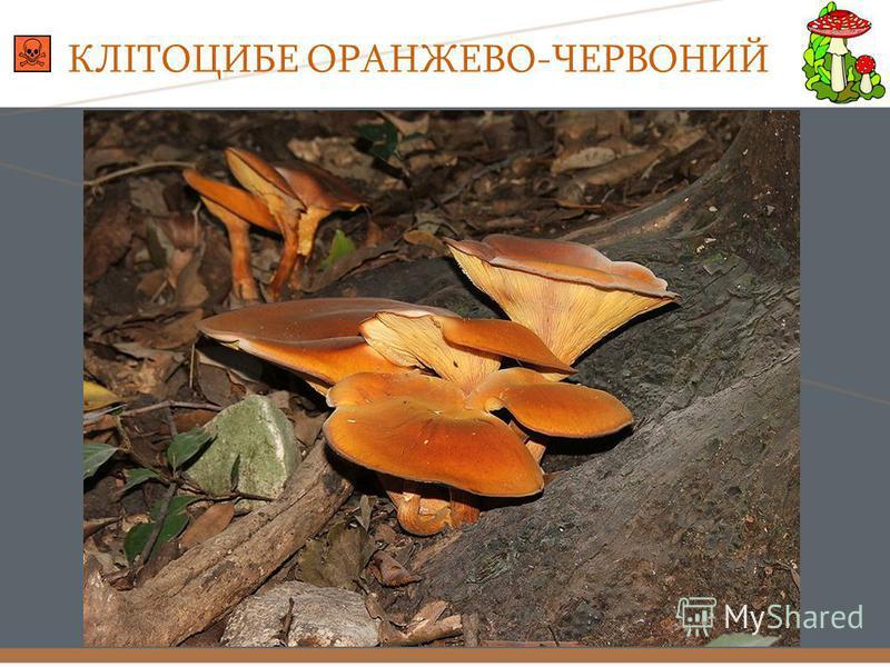 КЛІТОЦИБЕ ОРАНЖЕВО-ЧЕРВОНИЙ