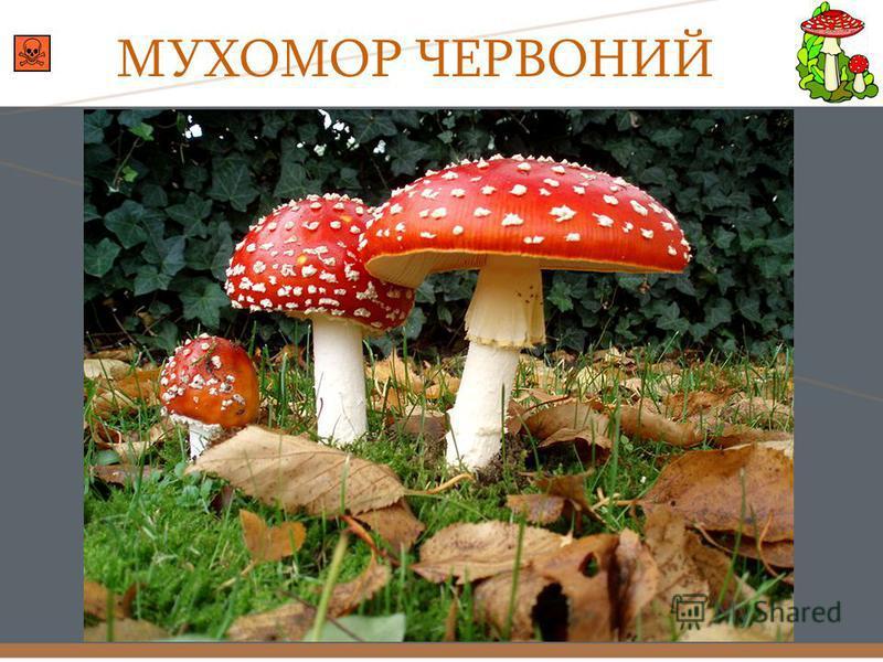 МУХОМОР ЧЕРВОНИЙ