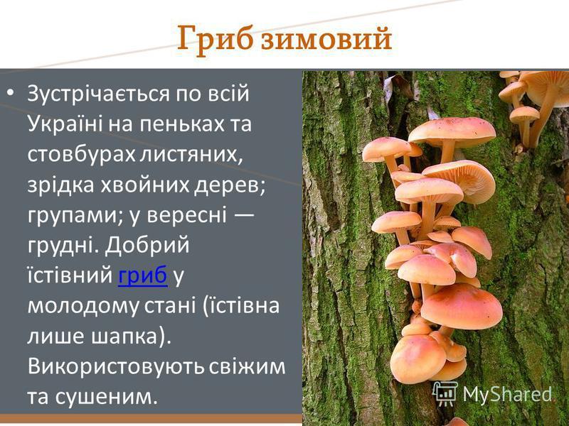 Гриб зимовий Зустрічається по всій Україні на пеньках та стовбурах листяних, зрідка хвойних дерев; групами; у вересні грудні. Добрий їстівний гриб у молодому стані (їстівна лише шапка). Використовують свіжим та сушеним.гриб