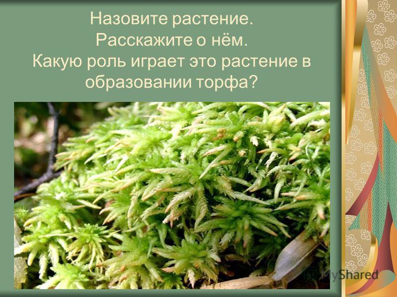 Назовите растение. Расскажите о нём. Какую роль играет это растение в образовании торфа?