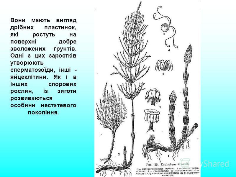 Вони мають вигляд дрібних пластинок, які ростуть на поверхні добре зволожених ґрунтів. Одні з цих заростків утворюють сперматозоїди, інші - яйцеклітини. Як і в інших спорових рослин, із зиготи розвиваються особини нестатевого покоління.