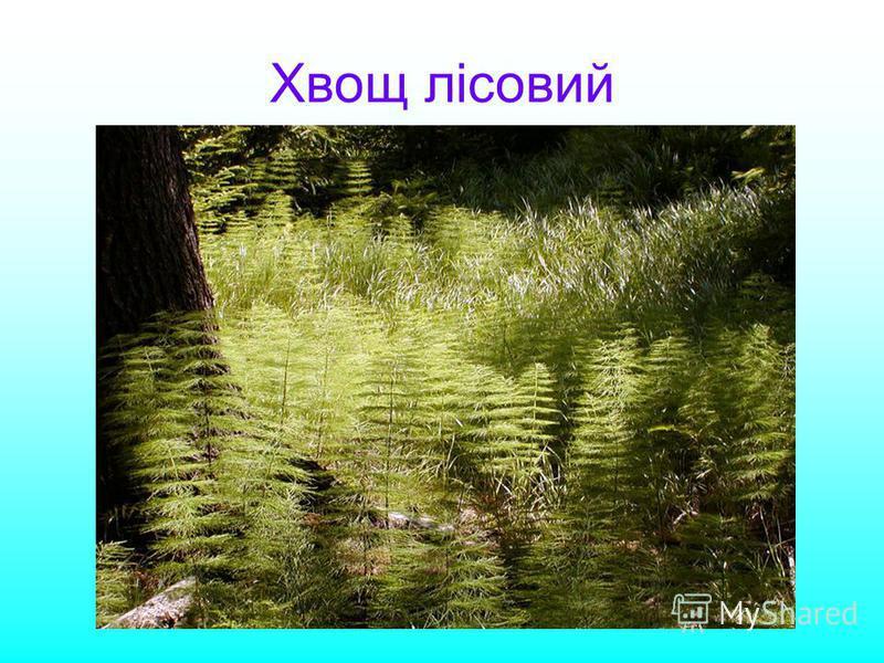 Хвощ лісовий