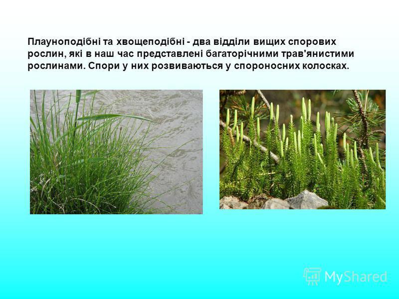 Плауноподібні та хвощеподібні - два відділи вищих спорових рослин, які в наш час представлені багаторічними трав'янистими рослинами. Спори у них розвиваються у спороносних колосках.